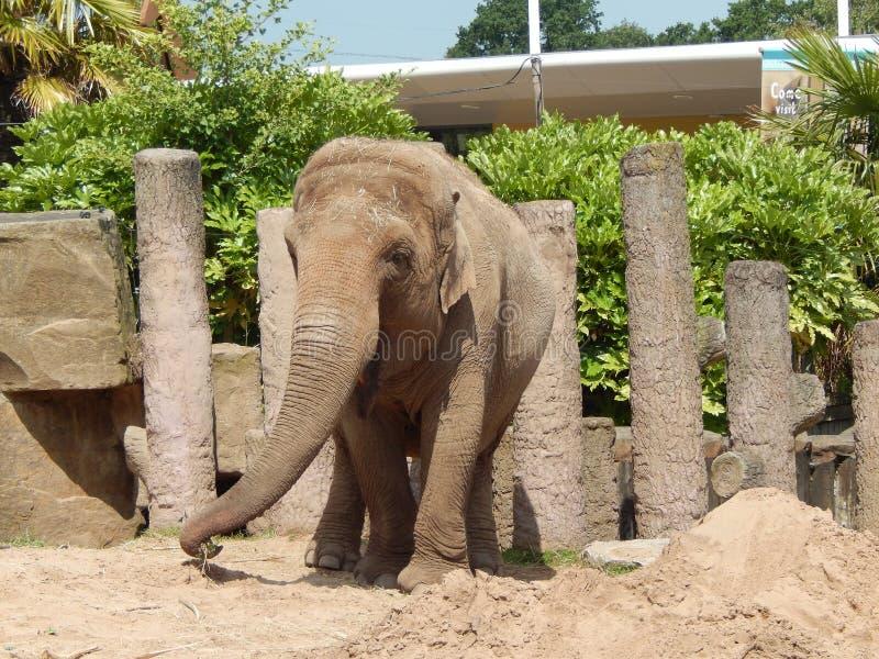 Elefant am Zoo stockfoto
