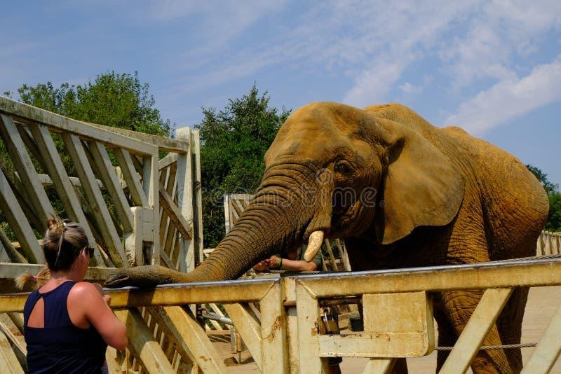 Elefant am Zoo, der wartet, um eine Festlichkeit von einem Damenbesucher zu erhalten lizenzfreies stockbild