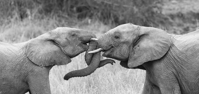 Elefant zwei grüßen liebevolles mit dem Winden und den rührenden Stämmen lizenzfreie stockbilder