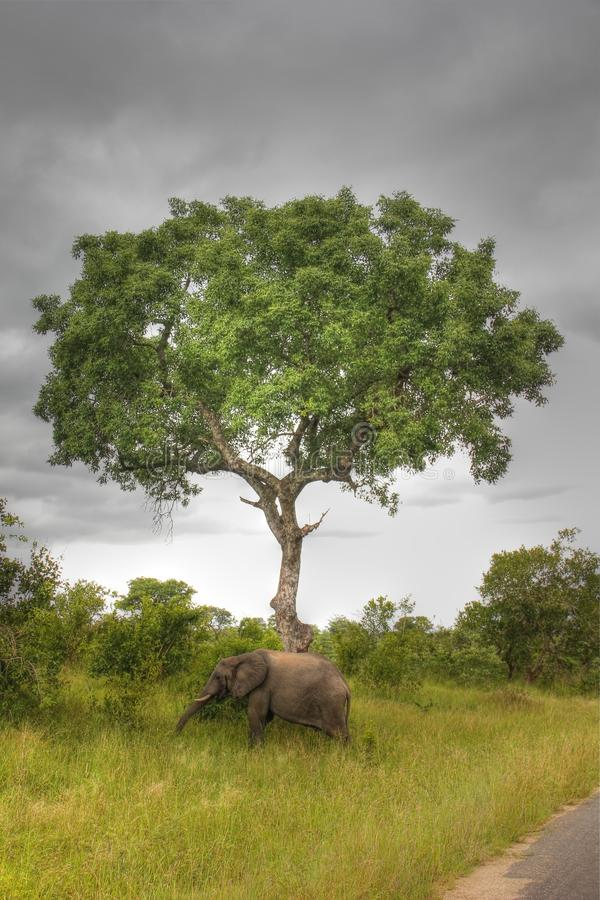 Elefantanseende under en tree royaltyfri bild