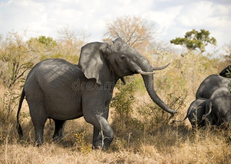Elefantaufladung stockfoto