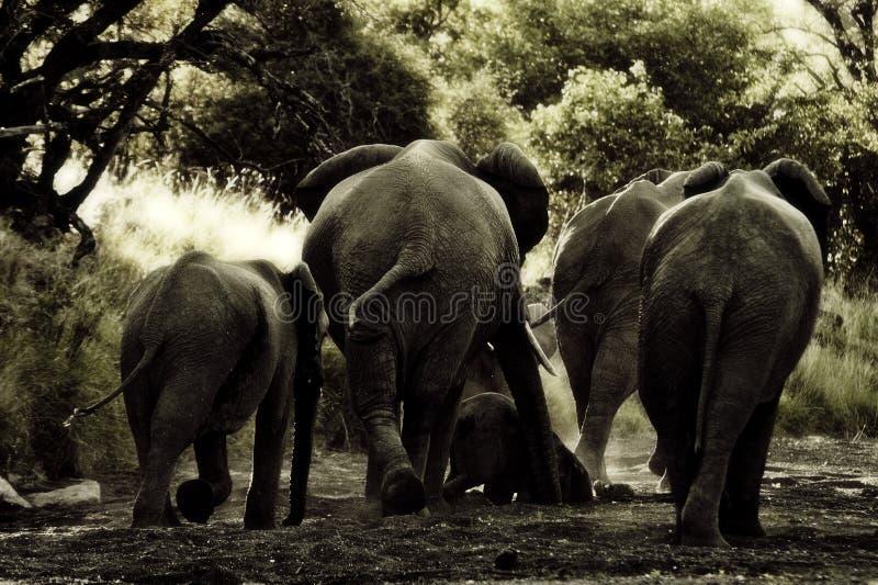 Elefantbacks arkivbild
