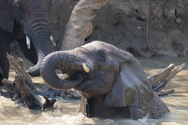 Elefantbad royaltyfria bilder