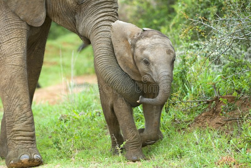elefantbarnuppfostran royaltyfri bild