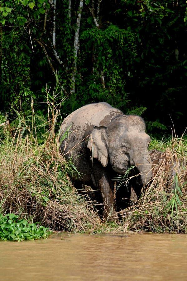 Elefante 1 do pigmeu de Bornéu foto de stock