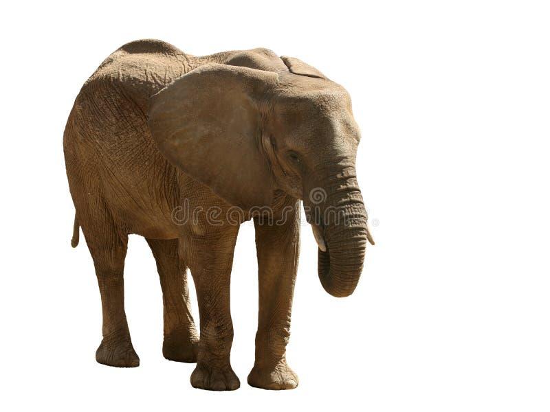 Download Elefante foto de stock. Imagem de selva, olhos, animal - 102802