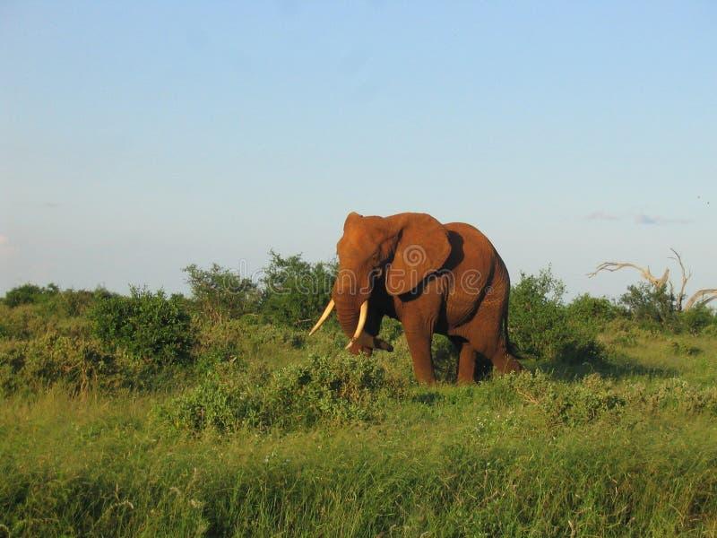 elefante στοκ φωτογραφία