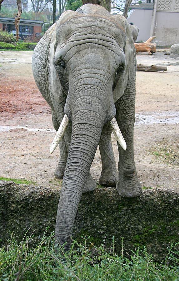 Elefante 12 fotos de archivo libres de regalías