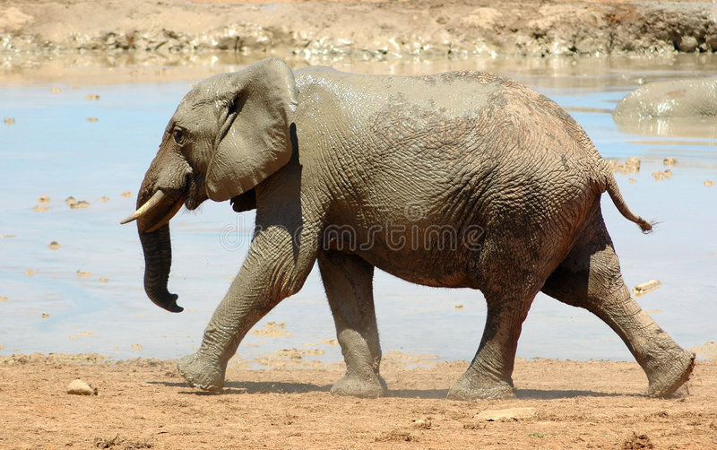 Elefante   fotografie stock