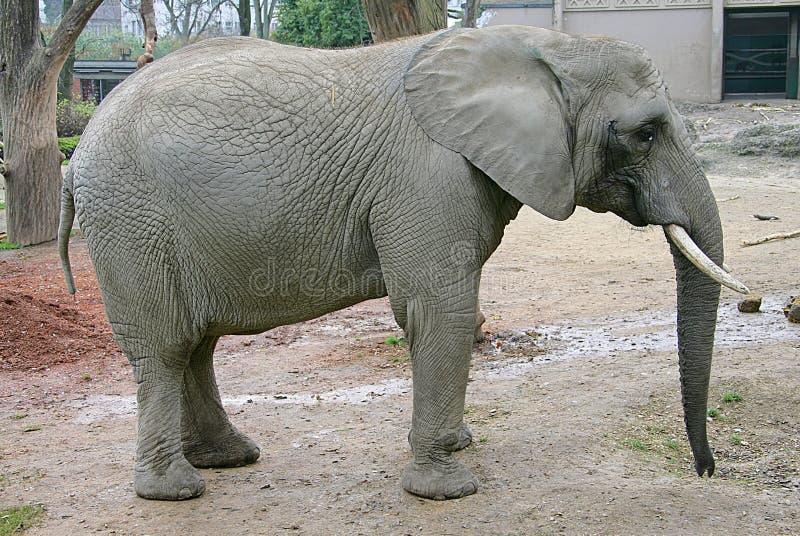 Elefante 13 fotografía de archivo