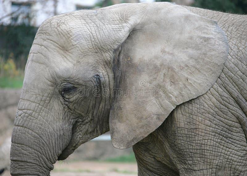 Elefante 19 imagens de stock royalty free