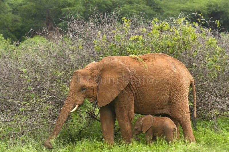 Elefante 2 da matriz e do bebê foto de stock