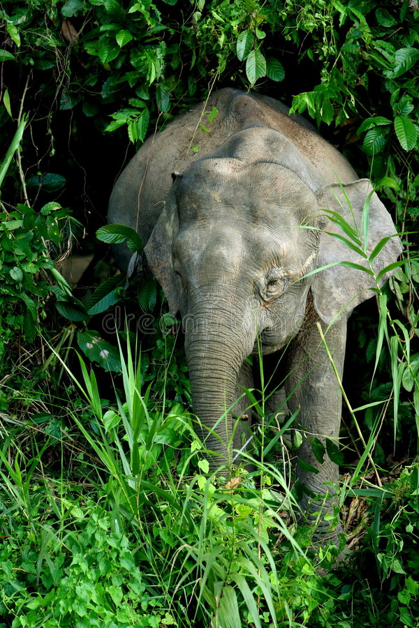 Elefante 2 do pigmeu imagem de stock