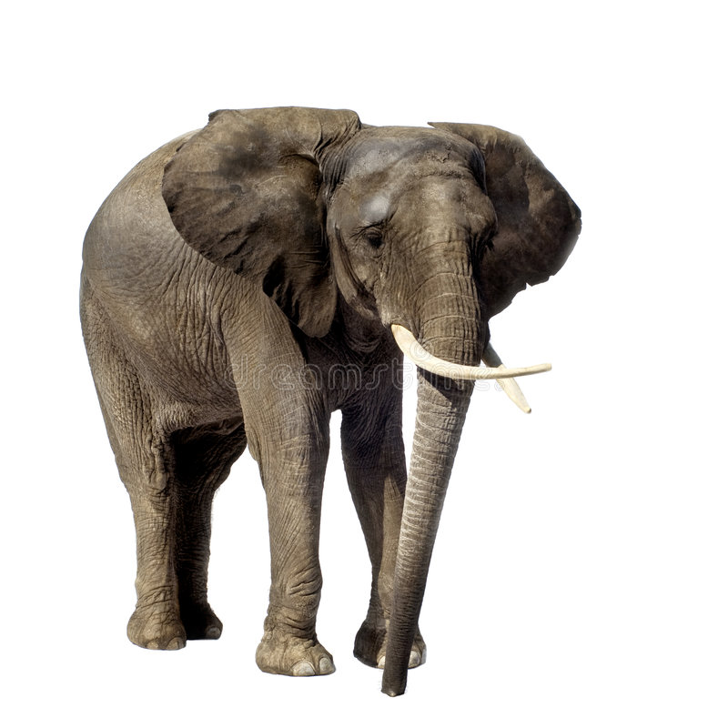 Elefante fotos de archivo libres de regalías