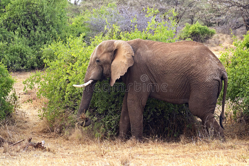Download Elefante foto de archivo. Imagen de fauna, habitat, naturalizado - 44851658