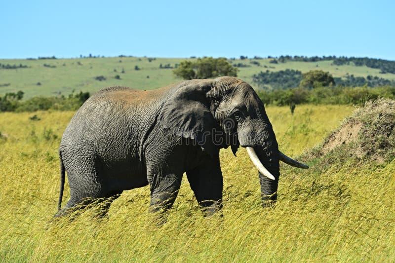 Download Elefante foto de archivo. Imagen de naturalizado, d0 - 44851826