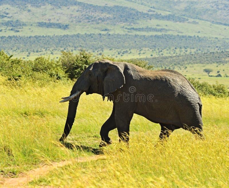 Download Elefante imagen de archivo. Imagen de africano, planeta - 44851843
