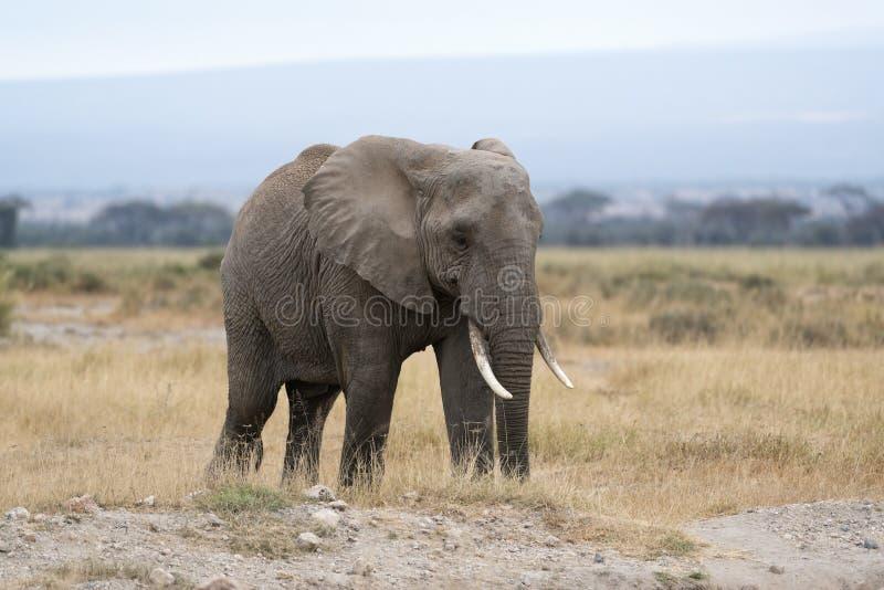 Elefante adulto de Bush do africano, fêmea imagens de stock royalty free