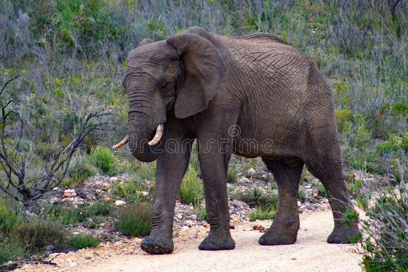 Elefante adulto maschio nel safari privato della riserva di caccia in Sudafrica fotografie stock