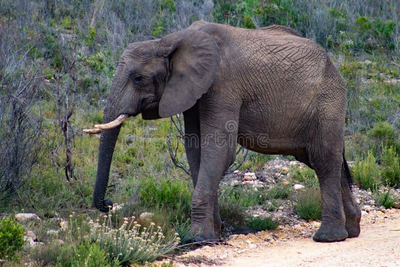 Elefante adulto maschio nel safari privato della riserva di caccia in Sudafrica fotografia stock