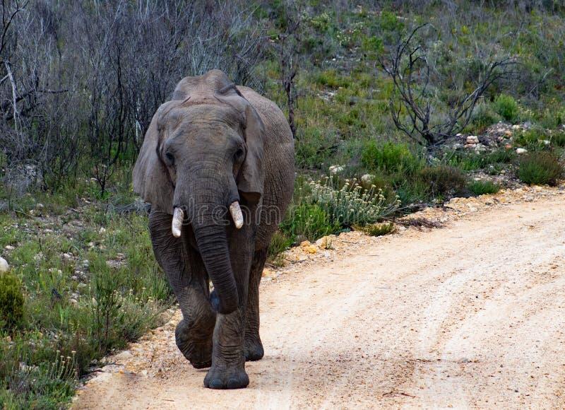 Elefante adulto maschio nel safari privato della riserva di caccia in Sudafrica fotografia stock libera da diritti