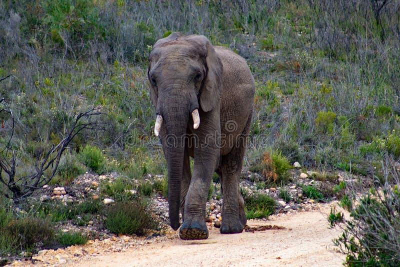 Elefante adulto maschio nel safari privato della riserva di caccia in Sudafrica immagine stock libera da diritti