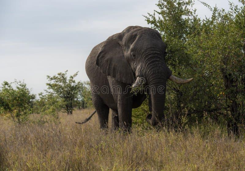 Elefante, africana del Loxodonta, comiendo de arbusto imagen de archivo
