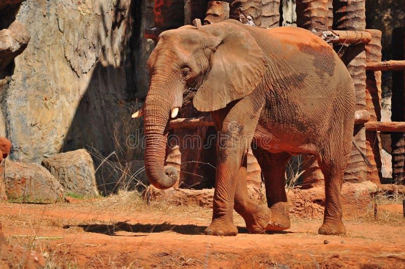 Elefante africano fotos de archivo
