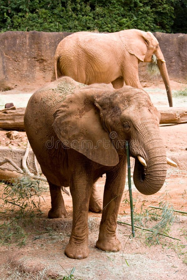 Elefante africano fotos de stock royalty free
