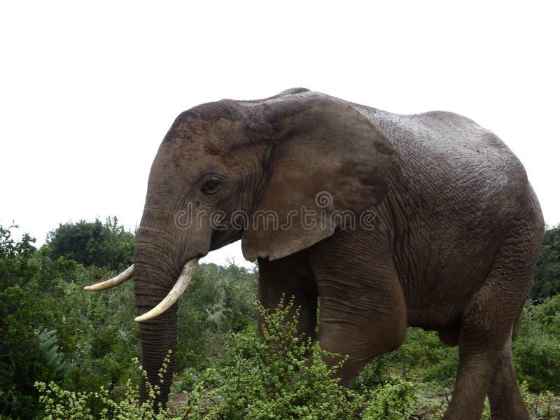 Elefante africano imagem de stock royalty free