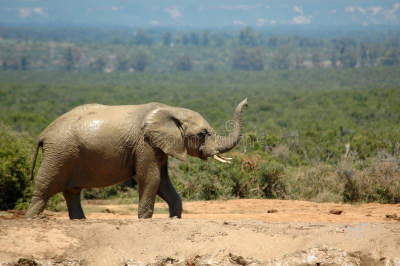Elefante africano  fotos de archivo libres de regalías