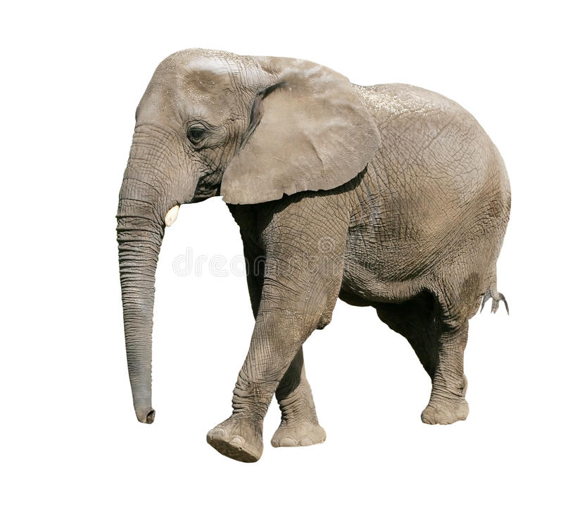 Elefante africano fotos de stock royalty free