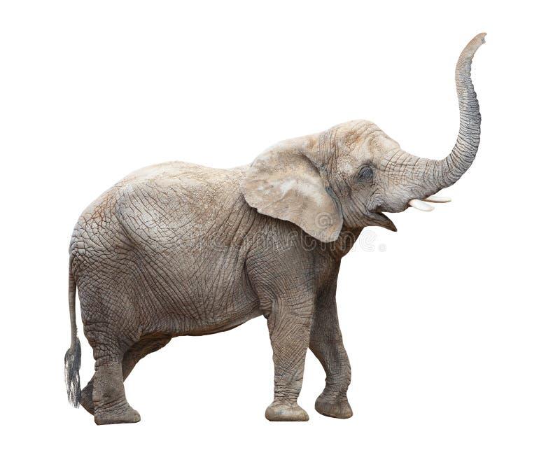 Elefante africano. foto de archivo