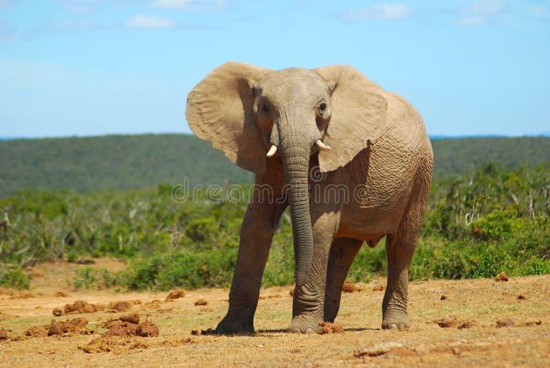 Elefante africano imagens de stock