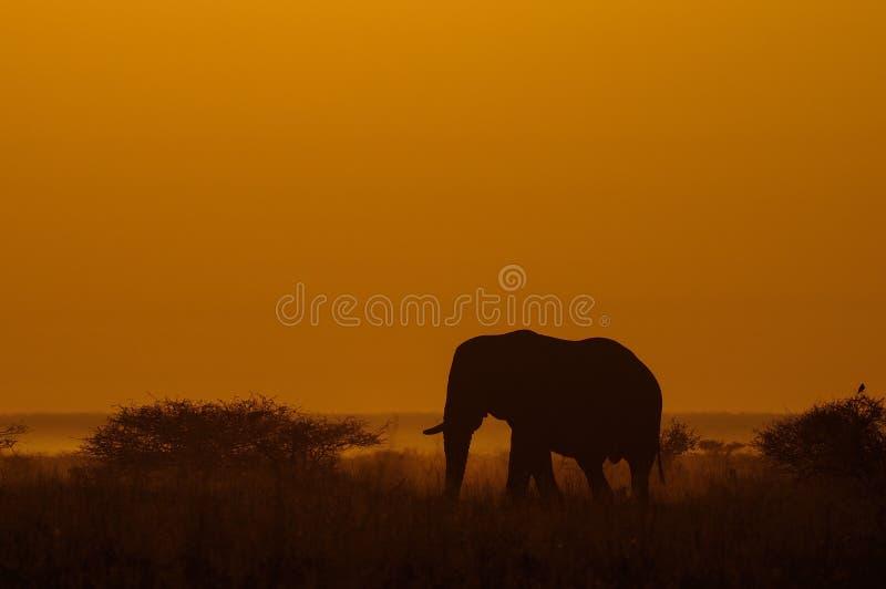 Elefante africano ad alba immagine stock