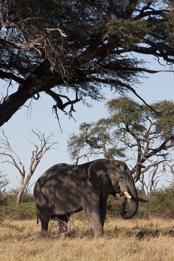 Elefante africano (africana del Loxodonta) foto de archivo