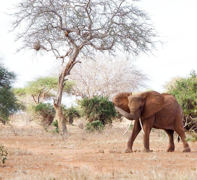 Elefante africano (africana del Loxodonta) foto de archivo libre de regalías