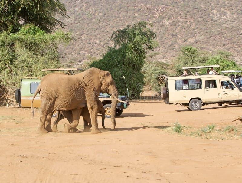 Elefante africano (africana del Loxodonta) immagini stock libere da diritti