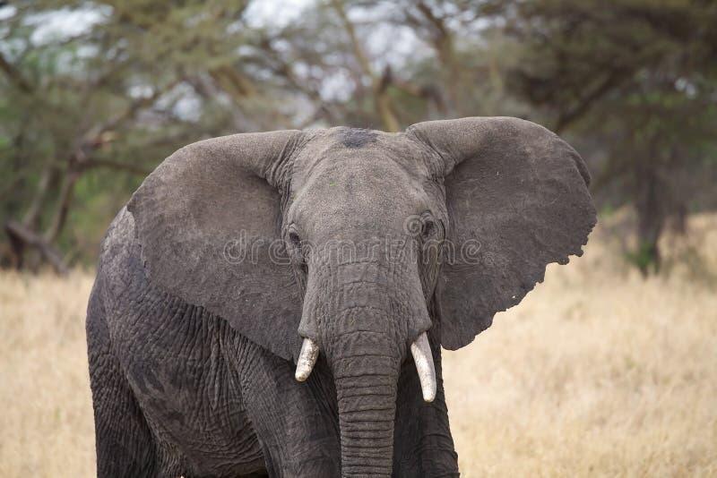 Elefante africano (africana del Loxodonta) imagen de archivo libre de regalías
