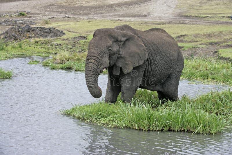 Elefante africano, africana del Loxodonta imagen de archivo libre de regalías