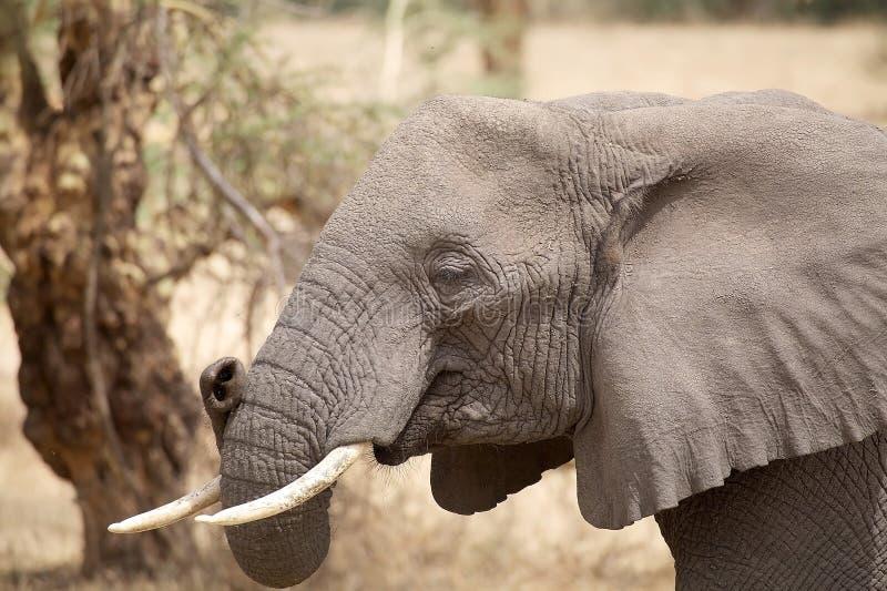 Elefante africano (africana del Loxodonta) fotos de archivo