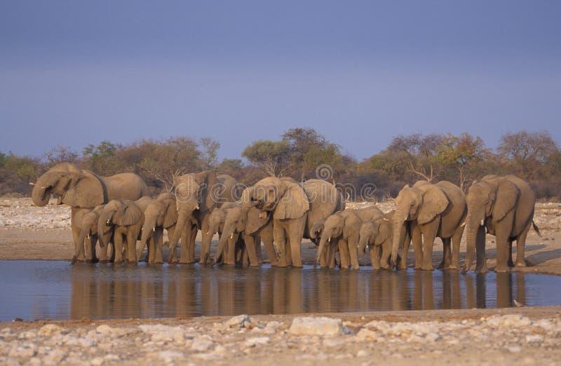 Elefante africano, africana del Loxodonta fotografía de archivo libre de regalías