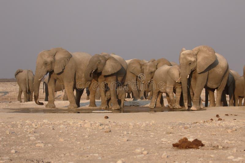 Elefante africano, africana del Loxodonta foto de archivo libre de regalías