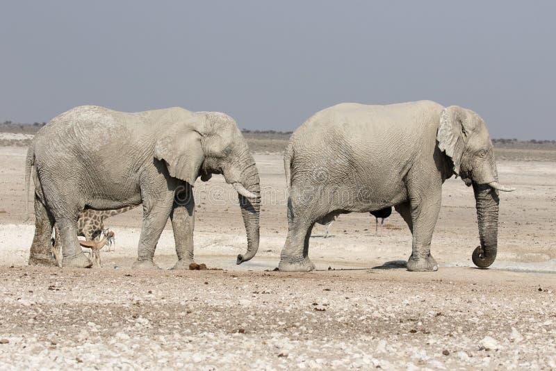 Elefante africano, africana del Loxodonta fotos de archivo