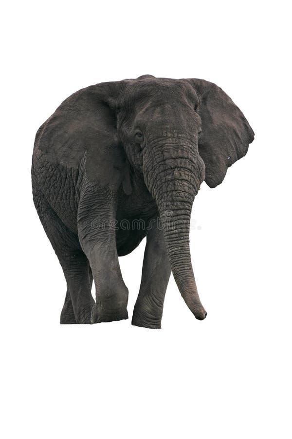 Elefante africano, africana del Loxodonta fotos de archivo libres de regalías