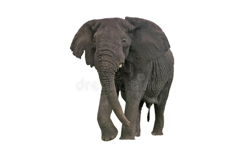 Elefante africano, africana del Loxodonta imagenes de archivo