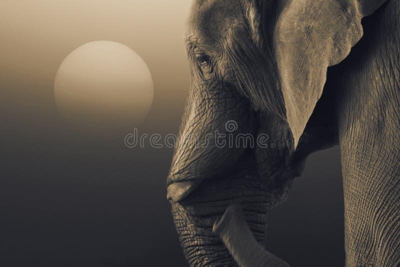 Elefante africano, africana del Loxodonta, colocándose con el levantamiento del sol foto de archivo