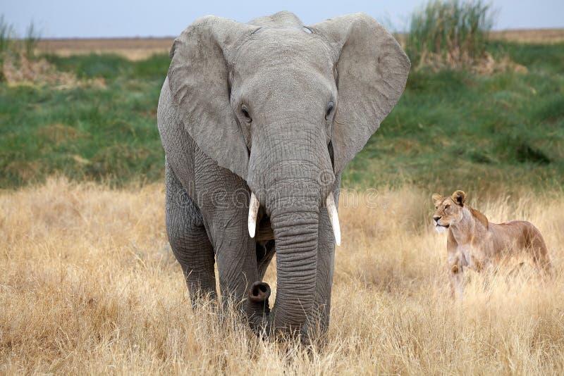 Elefante africano (africana del Loxodonta) y leona africana (Panth foto de archivo libre de regalías