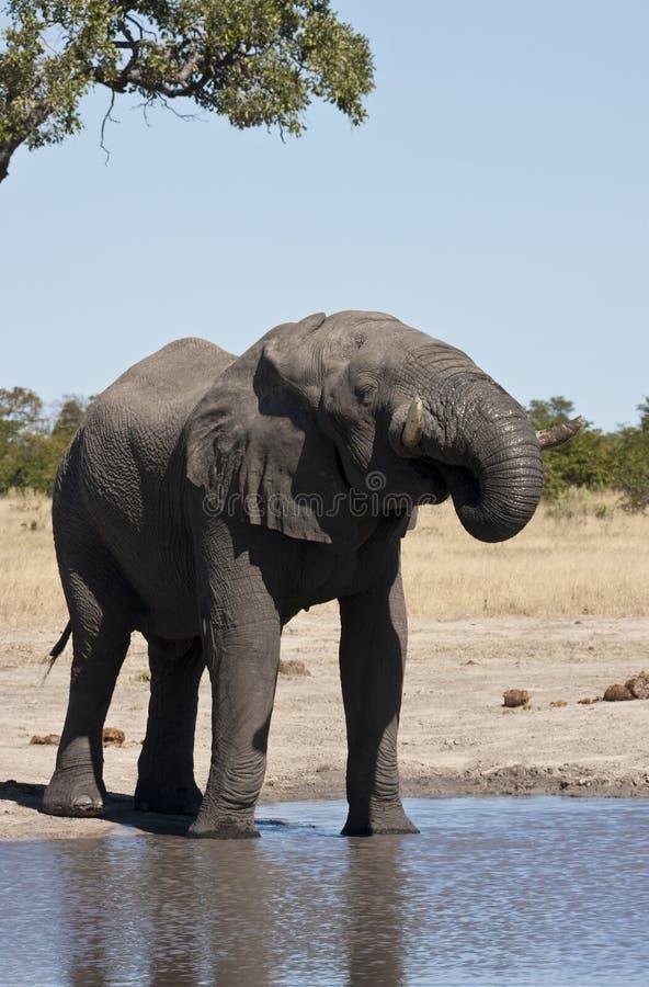 Elefante africano (africana do Loxodonta) foto de stock royalty free