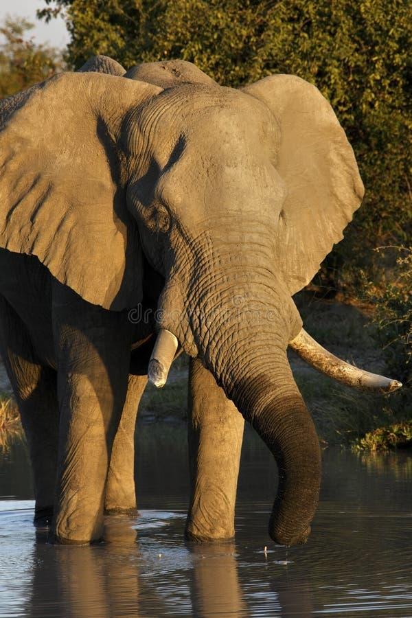 Elefante africano (africana do Loxodonta) fotos de stock